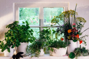 Your choice of herbs and a sunny window can get you started. See more pictures of culinary herbs.