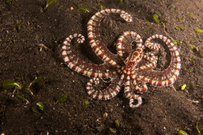 You wish you had half the tricks up your sleeve that this multitalented octopus does.