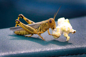 This grasshopper gets a full meal out of a kernel of popcorn.