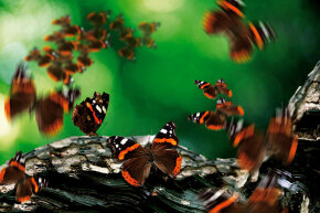 A flurry of red admiral butterflies surround a tree branch.