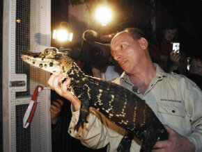 Offshore banking isn't the only sketchy thing to happen in the Cayman Islands. Rene Heedegaard receives a Cayman crocodile that was recovered from thieves.