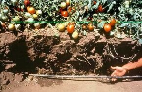Soil cut away to expose a drip irrigation line in a tomato field.