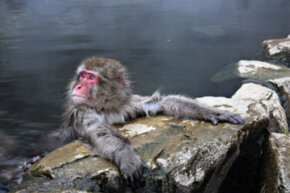 Even Japanese monkeys love a good onsen!