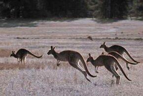 Kangaroos hopping across an open expanse