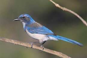 The Florida scrub jay is one bird species where some members act as helpers during the breeding season. Instead of mating themselves, the helpers assist the breeding pairs with getting food and fighting off predators.