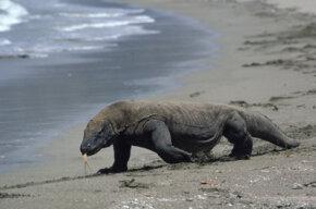 Komodo dragon on Indonesian island