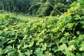 If kudzu seems ubiquitous, that's because it is.