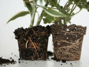 Two plants, exposed roots, different soil types.