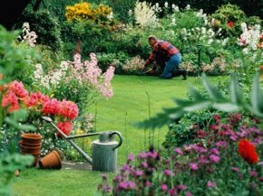 Man working in flower garden. See more pictures of perennial flowers.