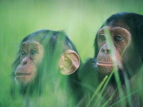 Chimpanzees are our closest living relative, meaning we also share a very important evolutionary ancestor. See more pictures of primates.
