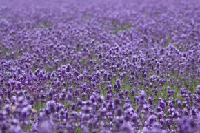 Unusual Skin Care Ingredients Image Gallery Lavender is beautiful and has a soothing smell but is it medicinal? See more pictures of unusual skin care ingredients.
