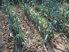 The leaves of leeks are flat and straplike. See more pictures of leeks & leeks recipes.