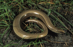 The Anguis fragilis slithers through grass in Europe.