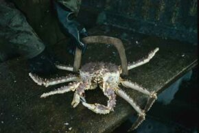 Alaskan king crab being measured