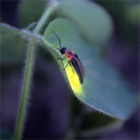 What else do you think of when you think of bioluminescence? Our friend the firefly of course. Here's Photinus pyralis posing on a soy bean plant.