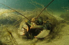 Lobsters' amazing vision helps them see in murky waters like the Bay of Fundy in Nova Scotia.