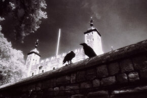 Ravens, especially those at the Tower of London, have captivated the popular imagination.