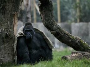 A gorilla warms himself in the London Zoo's Gorilla Kingdom. See more pictures of primates.