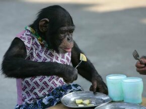 Could ancient dietary changes have set the course for human and chimp evolution?