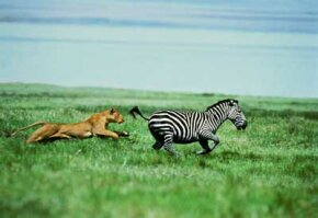 Image Gallery: Big Cats Lions usually go after prey such as zebras, buffalo and gazelles. See more big cat pictures.