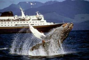 Travelers on Marine Highway might see a humpback whale jump in Chatham Strait.