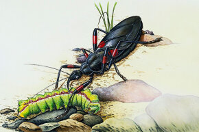 This illustration shows a kissing bug attacking a caterpillar.