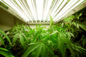 An indoor marijuana grow room.