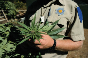A DEA officer holding a marijuana plant