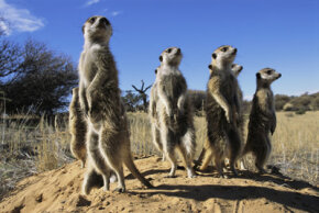 Meerkats have a complex and fascinating social system.