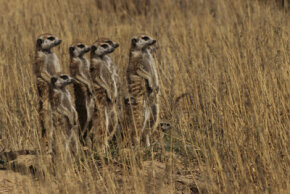 A group of meerkats stands guard in a field as others forage.