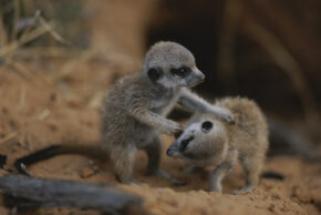 Young meerkats wrestle to sharpen their skills.