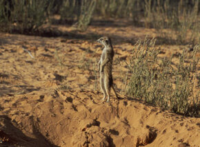 A meerkat stands sentinel, on guard for threats to the rest of the gang.