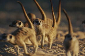 The meerkats shown here may be gearing up to mob a dangerous predator.