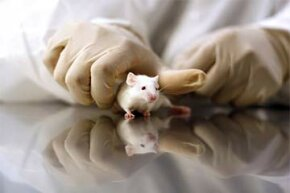Researchers don't use mice just because they're cheap and reproduce quickly. Their DNA is very close to humans'.