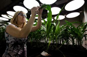 Research Biologist Heidi Windler takes tissue samples from genetically modified corn plants inside a climate chamber housed in Monsanto headquarters in St Louis, Mo. Windler is attempting to breed a corn root worm-resistant strain of corn.