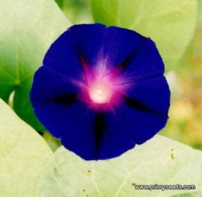 Morning glory vine is an annual flower available in many colors, including See more pictures of annual flowers.