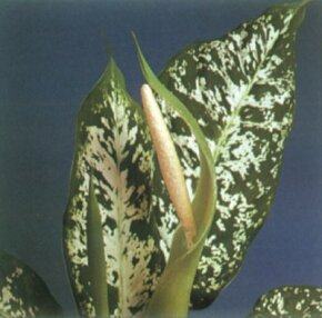 Houseplants Image Gallery Mother-in-law's tongue is a toxic house plant with green and white or yellow marbled leaves on thick green stems. See more pictures of houseplants.