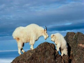 Mountain goats have specialized hooves to help them navigate mountainous terrain. See more pictures of mammals.