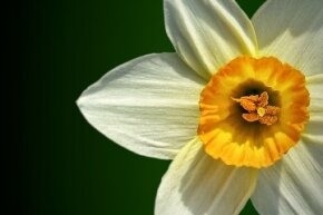 Poor ol' Narcissus made just as lovely a flower as he did a human person.