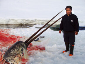 Sealer Aron Aqqaluk Kristiansen from the settlement Kangersuatsiaq in Greenland poses with the head of a rare, double-tusked narwhal.