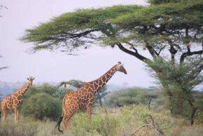 Giraffes and acacia trees, Kenya, Samburu Nature Reserve