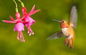Hummingbird Image Gallery Rufous hummingbird (Selasphorus rufus). A hummingbird's long bill and tongue evolved to let the bird reach deep into a flower for nectar. See more hummingbird pictures.