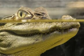 A crocodile can run as fast as you, so it's best to back away slowly rather than to sprint.