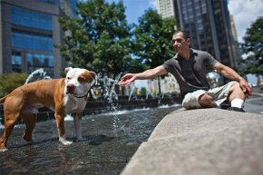 A red-nose pit bull and its owner cool off  in New York City. Pit bulls are not necessarily more aggressive than other dogs.