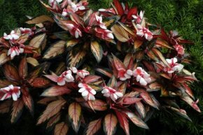 New Guinea impatiens are multicolor annual flowers. See more pictures of annual flowers.