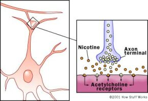 A synapse is the site where two neurons come into contact. The presynaptic neuron releases a neurotransmitter, which binds to receptors on the postsynaptic cell. This allows signals to be transmitted from neuron to neuron in the brain. Acetylcholine is released from one neuron and binds to receptors on adjacent neurons.