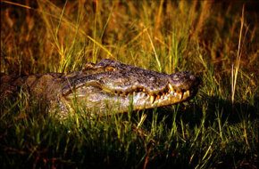 A crocodile lurks amid the rushes along the Nile at Murchison Falls in Uganda.