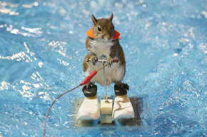 Twiggy, the famous water-skiing squirrel, gets in some practice runs before her shows at the Toronto International Boat Show. That's one animal with a better job than yours.