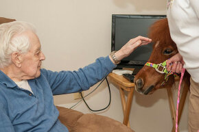 A miniature therapy horse spends time with an elderly man.