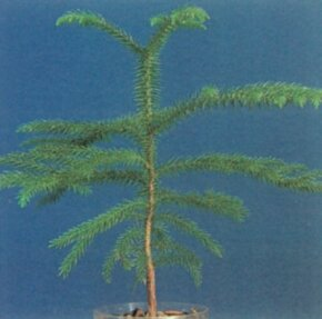 The Norfolk Island pine grows tall and straight and bears dark green, needled branches. See more pictures of trees.